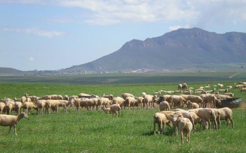 Serviteurskraal Sheep