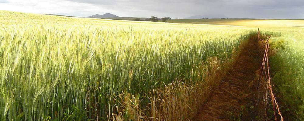 Grains : Wheat for sale/ Koring te koop