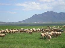Serviteurskraal Sheep