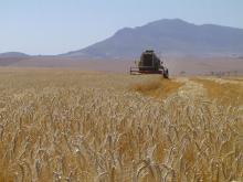 Serviteurskraal Wheat